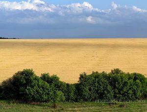 золотое поле пшеницы
