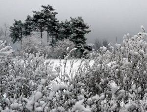 снег на соснах