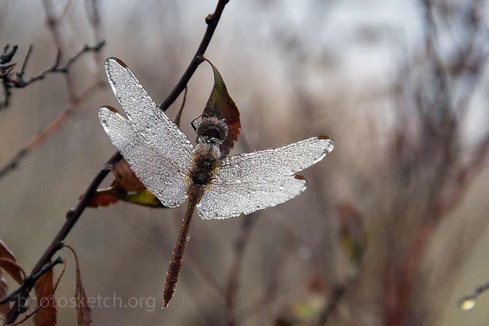 сстрекоза в капельках росы