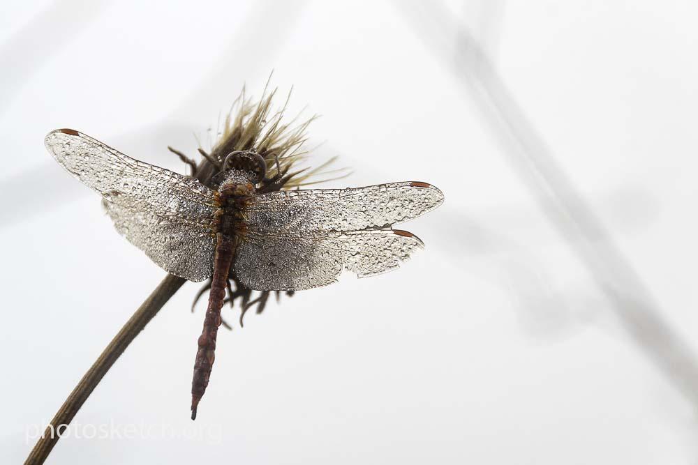 стрекоза в каплях росы